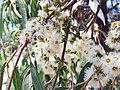 Eucalyptus propinqua - flowers 01.jpg
