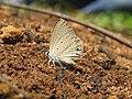 Euchrysops cnejus Fabricius, 1798 – Gram Blue at Aralam Wildlife Sanctuary 2016 (8).jpg