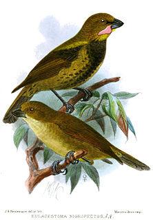 Wattled ploughbill species of bird