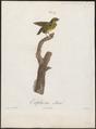 Euphonia minuta - 1805 - Print - Iconographia Zoologica - Special Collections University of Amsterdam - UBA01 IZ15900421.tif