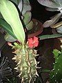 Euphorbia Viguieri.jpg