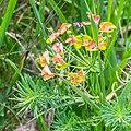 Euphorbia cyparissias at Lac de Roy (1).jpg