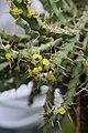 Euphorbia gillettii IMG 2494.jpg