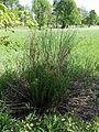 Euphorbia palustris sl6.jpg