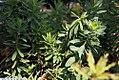 Euphorbia polychroma 2zz.jpg