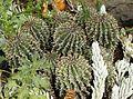 Euphorbia stellispina var stellispina - South Africa.jpg