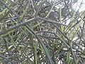 Euphorbia tirucalli (YS) (1).jpg