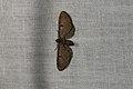 Eupithecia absinthiata (36368840951).jpg