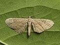 Eupithecia simpliciata - Plain pug - Цветочная пяденица лебедовая (40056269525).jpg