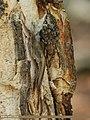 Eurasian Treecreeper (Certhia familiaris) (15895932375).jpg