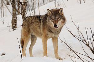 Eurasischer Wolf (Canis lupus lupus)
