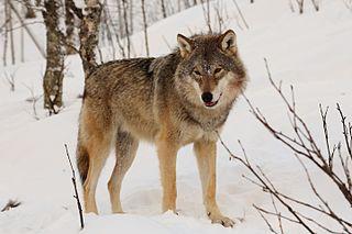 Eurasian wolf subspecies of mammal