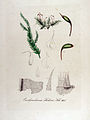 Eurhynchium stokesii — Flora Batava — Volume v13.jpg