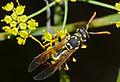 European Paper Wasp (Polistes dominula) (10443327786).jpg