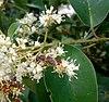 Europian honey bee on ligustrum lucidum blossoms - Ευρωπαϊκή μέλισσα σε άνθη λιγούστρου.jpg