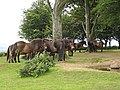 Exmoor ponies on Cothelstone Hill - geograph.org.uk - 1449644.jpg