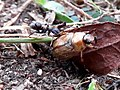 Exomala orientalis attacked by ant - 4.jpg