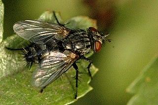 <i>Exorista</i> Genus of flies