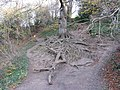 Exposed roots of a large and old beech tree by the River Almond - geograph.org.uk - 1047409.jpg