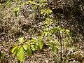 Fagus sp. (Fagaceae) 04.jpg