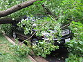 Fallen tree in Washington D.C. after Hurricane Irene.JPG