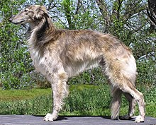 Fallon the Silken Windhound.jpg