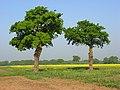 Farmland with oaks, Hurst - geograph.org.uk - 800267.jpg