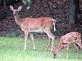 Fawn and Doe at Hanging Rock State Park.jpg