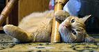 Felis catus 02.jpg