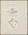 Felis onca - 1700-1880 - Print - Iconographia Zoologica - Special Collections University of Amsterdam - UBA01 IZ22100133.tif