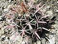 Ferocactus recurvus (5753779489).jpg