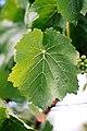 Feuille de vigne cépage blanc.jpg