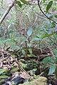 Ficus macrophylla macrophylla Desf. ex Pers. (AM AK355373-2).jpg