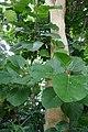 Ficus populifolia-Jardin des Plantes de Paris (4).jpg