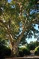 Ficus sycomorus13.jpg