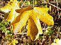 Field Maple (Acer campestre) autumn leaves (8252316444).jpg