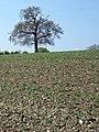 Field beans, Chickwell Farm - geograph.org.uk - 1287010.jpg