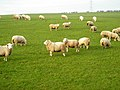 Field of Sheep Near Thorntonhall - geograph.org.uk - 635391.jpg