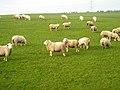 Field of Sheep Near Thorntonhall - geograph.org.uk - 635391.jpg