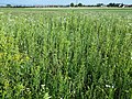 Filago vulgaris sl296.jpg