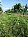 Filago vulgaris sl362.jpg