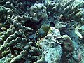 Filefish Whitespotted Filefish (7157582837).jpg