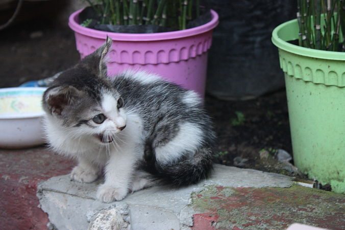Filipino kitten with two flowerpots.jpg