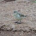 Finch (46897208965).jpg