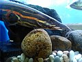 Fire eel in the corner of aquarium 01.jpg