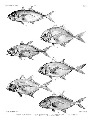 """George Henry Ford - Plate from """"The fishes of India"""" by Francis Day (1878)"""