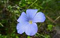 Flax (Linum narbonense) (9077972909).jpg