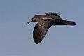 Flesh-footed Shearwater (Puffinus carneipes) (36841979693).jpg