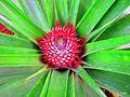 Fleur de l'ananas.jpg