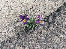 Les Violettes et leur histoire dans FLORE FRANCAISE 220px-Fleur_violette